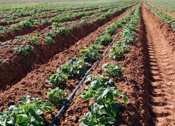 השפעת עקת מים וחזרה מעקת מים בגידול תפוח אדמה