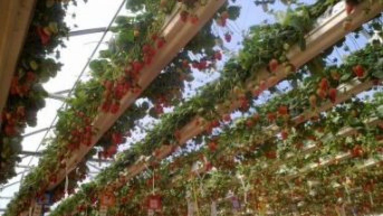 בחינת זני תות שדה בתעלות תלויות 2017