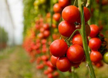 כנס ארצי בנושא עגבניות מאכל